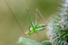 Sauterelle verte avec de longues antennes Images stock