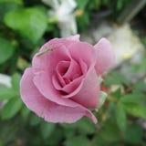 Sauterelle verte dans la rose de floraison de rose image libre de droits
