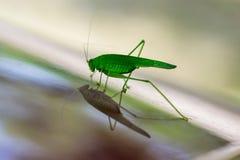 Sauterelle verte se reflétant dans la surface brillante Photos libres de droits