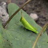 Sauterelle verte sur la lame photo libre de droits