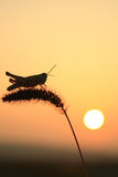 Sauterelles et vulpin Photographie stock libre de droits