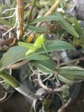 Sauterelles vertes comme des feuilles, photographie stock