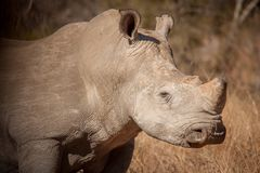 sauvage blanc de rhinocéros Photo libre de droits