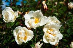 Sauvage blanc s'est levé dans le jardin Photos libres de droits
