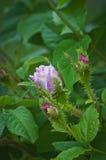 Sauvage rose s'est levé avec des bourgeons Photographie stock libre de droits