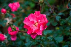 Sauvage rose s'est levé dans le jardin Photo stock