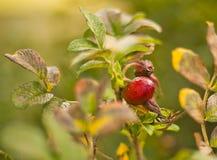 Sauvage s'est levé : fleurs et fruits Image stock