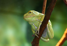 Sauvagii cireux de Phyllomedusa de grenouille de singe se reposant sur la branche photographie stock libre de droits