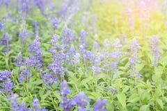Sauvez les fleurs bleues de farinacea de salvia de salvia de prévision de téléchargement fleurissant au foyer sélectif de jardin images libres de droits