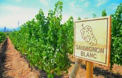 Sauvignon Blanc Стоковые Изображения RF