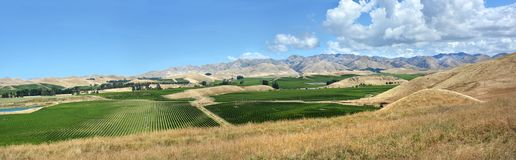 Sauvignon Blanc Grape Vines in Awatere Valley Marlborough New Ze Royalty Free Stock Photos