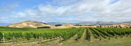 Sauvignon Blanc Grape Vines in Awatere Valley Marlborough New Ze Royalty Free Stock Photography