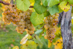 Sauvignon blanc grapes in autumn Stock Images