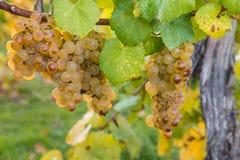 Sauvignon-blanc Trauben im Herbst stockbilder
