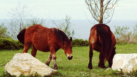 Savage Horses Couple Fotografia de Stock Royalty Free