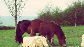 Savage Horses Couple. Wild Horses eating grass landscape view on mountain park Royalty Free Stock Photography