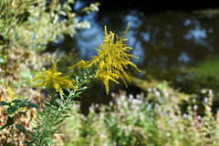 Savage mimosa on the bank of seine river stock images
