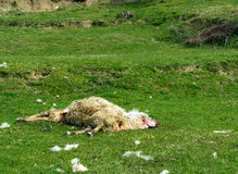 Savaged dead sheep. Agriculture problem. A lamb was also killed. Said to be the result of wolves,but maybe dogs. Photo taken north Tuscany, Italy Royalty Free Stock Photo