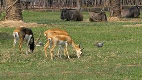 Savana africano no jardim zoológico aberto de Khao Kheow tailândia filme