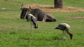 Savana africano no jardim zoológico aberto de Khao Kheow tailândia video estoque