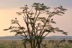 Savana de Tanzânia da árvore de Birding imagem de stock royalty free