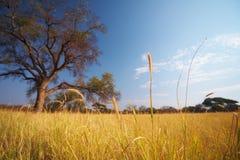 Savana dell'Africano del pascolo Fotografia Stock