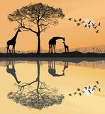 Savana with giraffes Stock Images