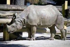 savana herbívoro Fender-hoofed do rinoceronte do mamífero foto de stock