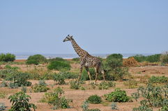 Savana landscape with giraffe Royalty Free Stock Image