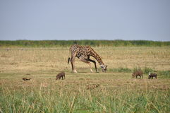 Savana landscape with giraffe drinking and warthog Stock Image