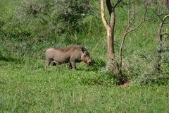 Savana perigoso Kenya de África do mamífero do porco selvagem do javali africano Fotos de Stock Royalty Free