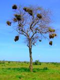 Savana's tree Stock Images