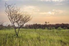 Savana verde con l'albero morto Fotografie Stock Libere da Diritti