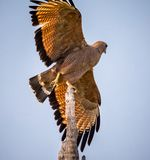 Savanah hawk leaving perch for a hunt Royalty Free Stock Photography