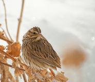 Savanah Sparrow, Passerculus sandwichensis. Perched on a dry flower stalk with snowy background Royalty Free Stock Photo