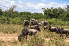 Savann med vilda djur kenya Fotografering för Bildbyråer