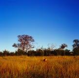 savanna Immagini Stock