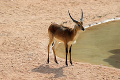 In the savanna Royalty Free Stock Photography