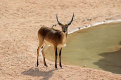 In the savanna Royalty Free Stock Images