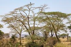 Savanna africana Fotografie Stock Libere da Diritti