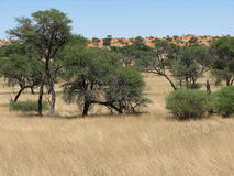Savanna africana immagini stock