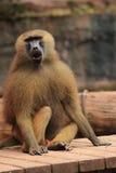 Savanna baboon Royalty Free Stock Photos