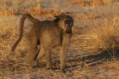 Savanna Baboon. (Papio cynocephalus ursinus) in the Okavango Delta, Botswana stock photography