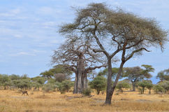 Savanna and Baobab Royalty Free Stock Photo