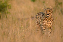Savanna cheetah royalty free stock photo