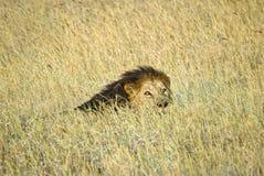 Savanna del leone Immagini Stock Libere da Diritti