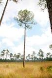 Savanna dell'albero di pino di Longleaf Fotografie Stock