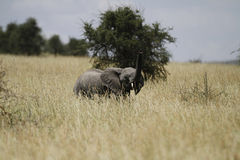 Savanna Elephant II Royalty Free Stock Photography