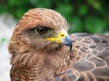 Savanna Hawk. (Buteogallus meridionalis). Photo taken in July 2010 in Bouillon Castel, Belgium Royalty Free Stock Photography