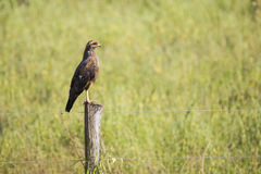 Savanna Hawk on Barbed Wire Fence Post Royalty Free Stock Photography